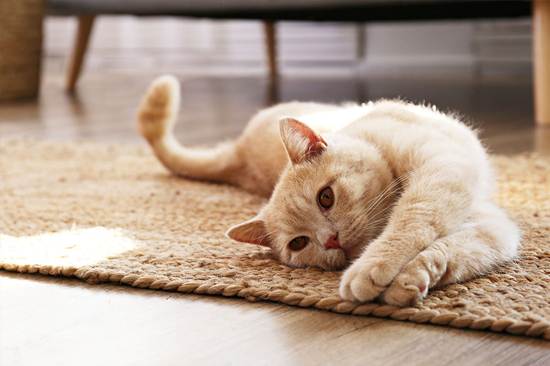 companion animals cats veterinarian